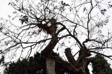 Najstarsze drzewo w mieście - robinia akacjowa zasadzona w 1636 przez synów Jeana Robina, który sprowadził tę roślinę z Ameryki 34 lata wcześniej.