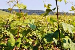 Winnica w Vosne-Romanée - wina Romanée Conti należą do jednych z najdroższych na świecie.